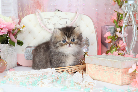 Tabby Teacup Rug Hugger Persian Kitten