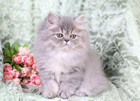 dd6d76616a93 Blue Silver Tabby Persian KittenPre-Loved Persian Kittens For Sale ...