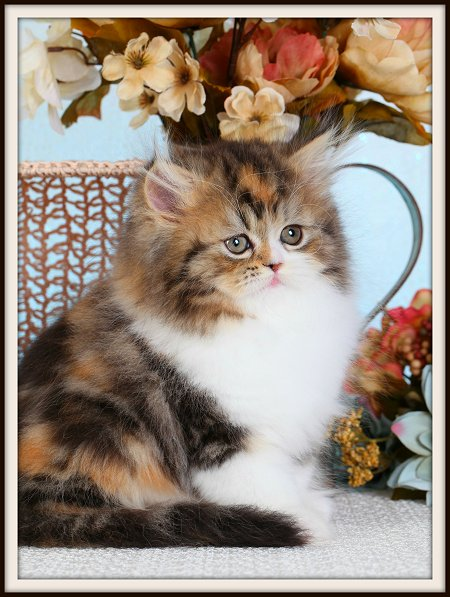 Calico Tabby & White Persian