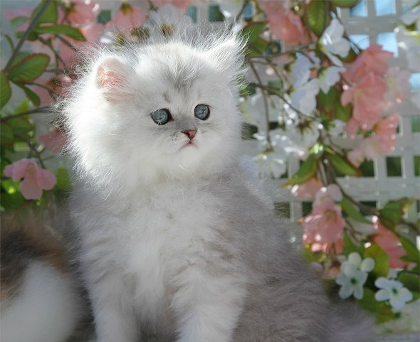 white chinchilla teacup persian kittens for sale car tuning Car Tuning