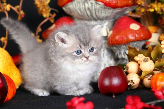 Chinchilla Blue Golden Persian Rug Hugger Kitten Nubbins