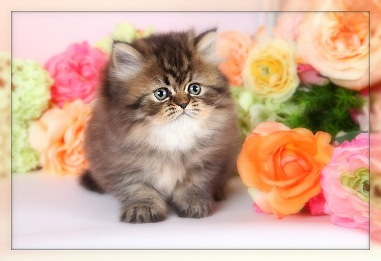 Shaded Golden Persian Teacup KittenUltra Rare Persian Kittens For ...