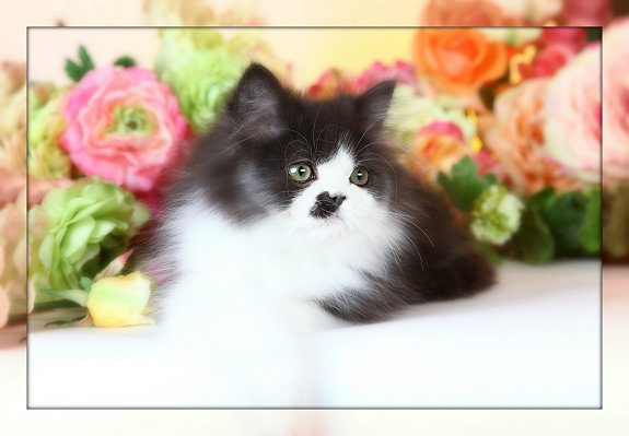 Black and white Tuxedo Doll Face Persian Kitten
