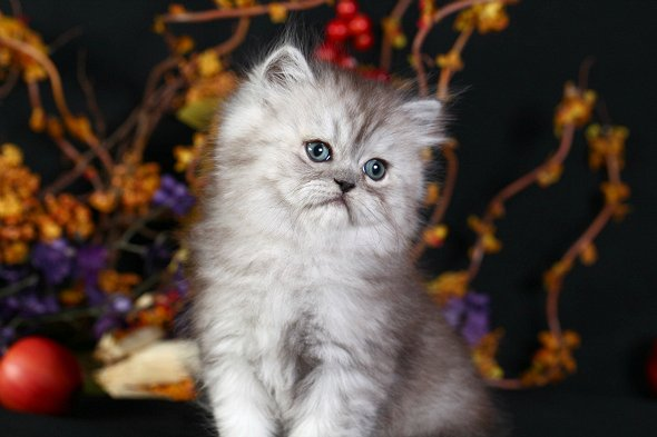 Black Smoke Persian Kitten Donkpre Loved Persian Kittens