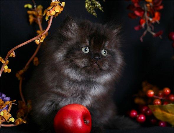 Black Smoke Persian KittenUltra Rare Persian Kittens For