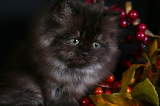 Black smoke persian cat for sale