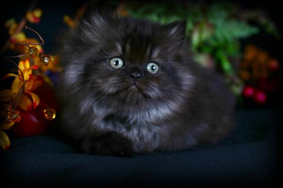Persian Black Mix Cat