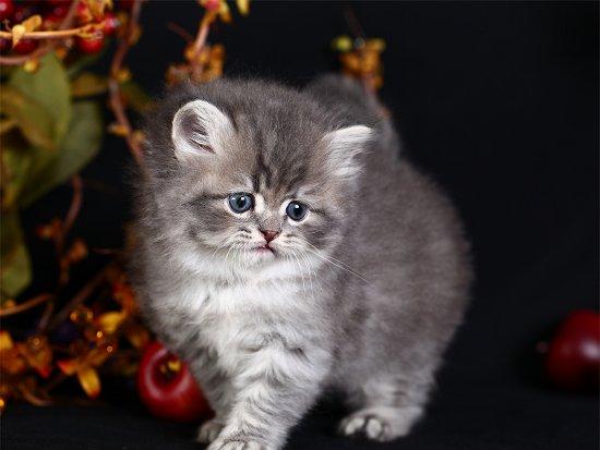 Blue Tabby Persian Kitten for salePre-Loved Persian ... Tabby Persian