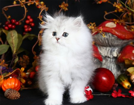 Chinchilla For Sale >> Lightly Shaded Silver Teacup Persian KittenPre-Loved ...