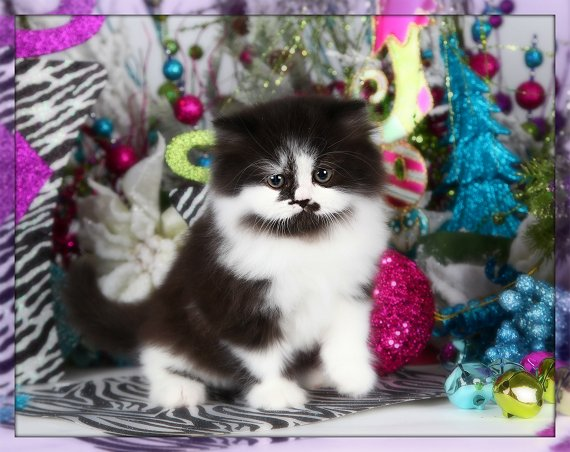Black & White Bicolor Persian Kitten