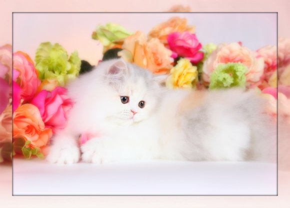 Pastel Calico Persian Kitten