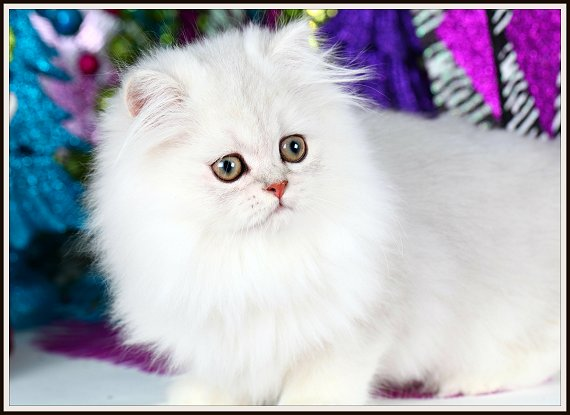 Chinchilla Silver Teacup Persian Kitten for Sale