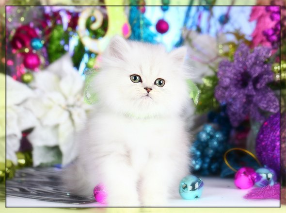 Chinchilla For Sale >> Silver Chinchilla Teacup Persian KittenPre-Loved Persian Kittens For Sale – (660) 292-2222 ...