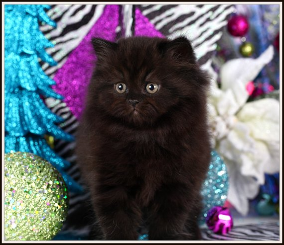 Black teacup persian kittens for sale