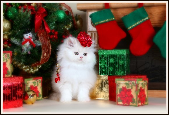Cream Shell Cameo Persian kitten