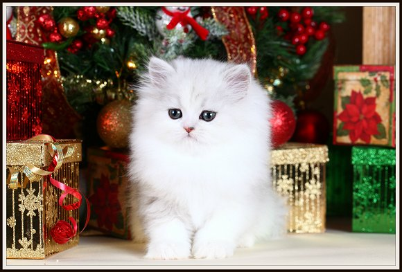 Silver Tipped Teacup Persian Kitten