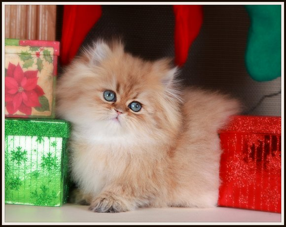 Pure Gold Teacup Persian Kitten