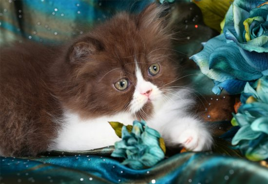 Chocolate and White Bicolor Persian kitten