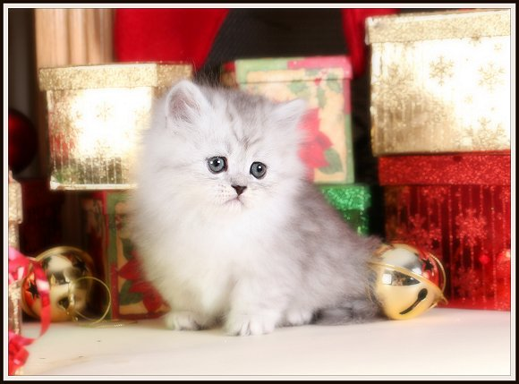 Silver Tipped Teacup Persian Rug Hugger Kitten For Sale
