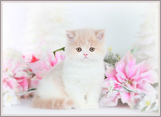 Cream and White Teacup Persian Kitten