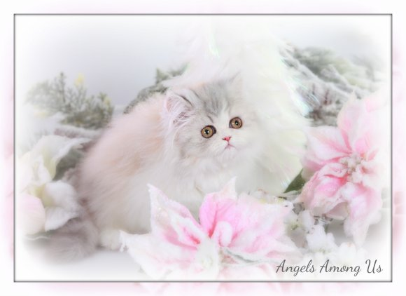 Chinchilla Teacup Persian Kitten