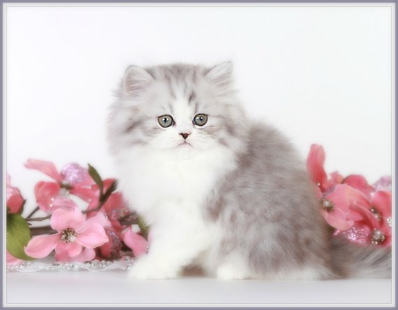 Silver Tabby and white Teacup Persian Kitten