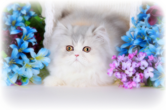 Dilute Calico Persian Kitten
