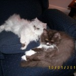 Doll Face Persian Kittens Reviews – The Shull Family