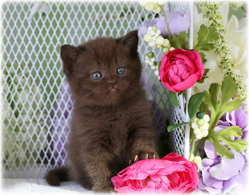 Exotic shorthair kitten breeders ny