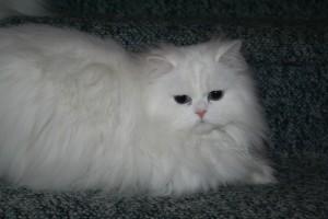 Doll Face Persian Kittens Reviews - Blake Family