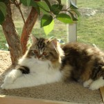 Doll Face Persian Kittens Reviews – The West Family