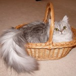 Doll Face Persian Kittens Reviews – The Thompson Family