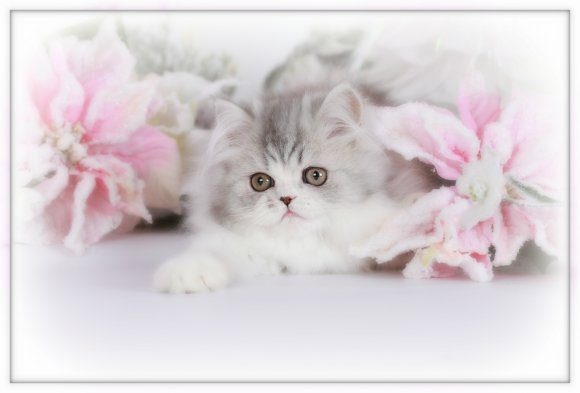 Blue Silver Tabby Persian