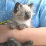 Doll Face Persian Kittens Reviews – The Macri Family