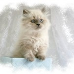 Doll Face Persian Kittens Reviews – The Gibson Family