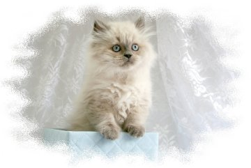 Doll Face Persian Kittens Reviews - Gibson Family