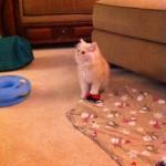 Doll Face Persian Kittens Reviews – The Garafola Family