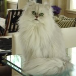 Doll Face Persian Kittens Reviews – The Fung Family