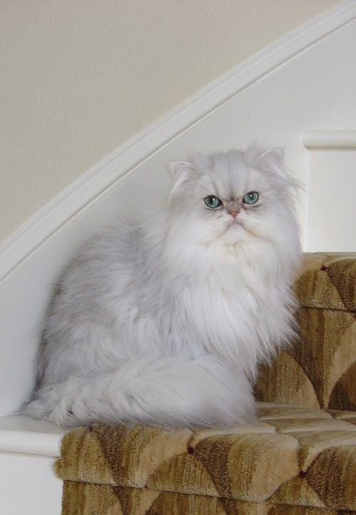 Doll Face Persian Kittens Reviews - Fung Family