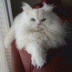 Doll Face Persian Kittens Reviews – The Peck Family