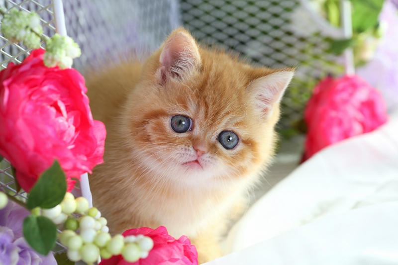Red Exotic Shorthair Kitten