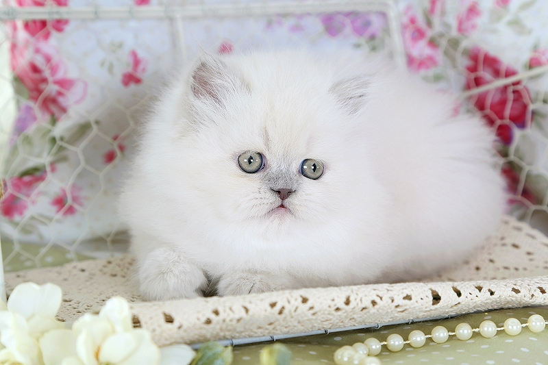 Lilac Himalayan Point Kitten