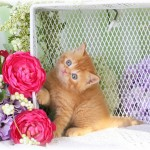 Red Exotic Shorthair Persian