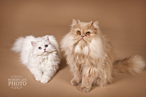 Doll Face Persian Kittens Reviews - Julie Sticha Family