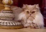 Doll Face Persian Kittens Reviews – The Sticha Family