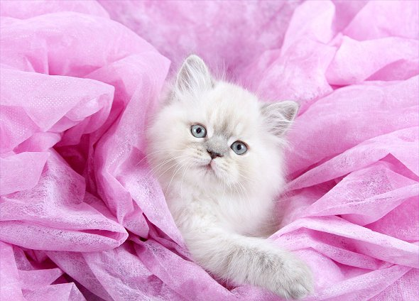 Lilac Lynx Point Teacup Himalayan kitten