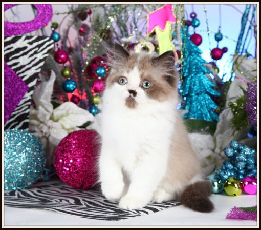 Seal Bi-color Point Himalayan Teacup Kitten