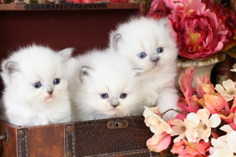 Blue Bi-Color Point Teacup Himalayan Kittens