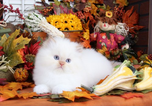 Flame Bi-Color Point Teacup Himalayan