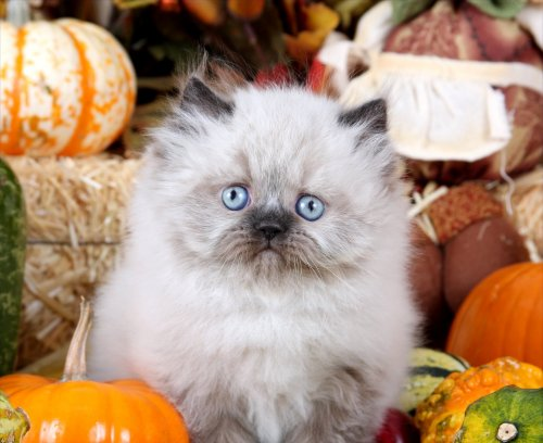 Seal Point Himalayan Teacup Kitten